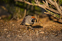 /images/133/2019-05-08-gv-quail-mi1-5d4_1379.jpg - #14622: Gambels Quail in Green Valley … May 2019 -- Green Valley, Arizona