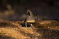 /images/133/2019-05-08-gv-quail-mi1-5d4_1418.jpg - #14623: Gambels Quail in Green Valley … May 2019 -- Green Valley, Arizona