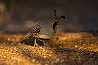 /images/133/2019-05-08-gv-quail-mi1-5d4_1428.jpg - #14624: Gambels Quail in Green Valley … May 2019 -- Green Valley, Arizona