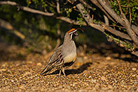 /images/133/2019-05-10-gv-quail-ton1-5d4_1670.jpg - #14625: Gambels Quail in Green Valley … May 2019 -- Green Valley, Arizona