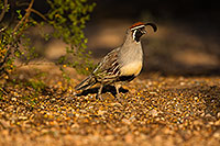 /images/133/2019-05-10-gv-quail-viv1-5d4_1736.jpg - #14626: Gambels Quail in Green Valley … May 2019 -- Green Valley, Arizona