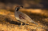 /images/133/2019-05-10-gv-quail-viv1-5d4_1828.jpg - #14627: Gambels Quail in Green Valley … May 2019 -- Green Valley, Arizona