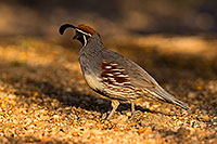 /images/133/2019-05-10-gv-quail-viv1-5d4_1839.jpg - #14628: Gambels Quail in Green Valley … May 2019 -- Green Valley, Arizona