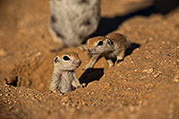 /images/133/2019-05-13-gv-creatures-viv1-13-5d4_2114.jpg - #14629: Baby Round Tailed Ground Squirrel in Green Valley … May 2019 -- Green Valley, Arizona