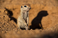 /images/133/2019-05-13-gv-creatures-viv1-15-5d4_2125.jpg - #14630: Baby Round Tailed Ground Squirrel in Green Valley … May 2019 -- Green Valley, Arizona