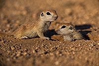 /images/133/2019-05-13-gv-creatures-viv1-15-5d4_2219.jpg - #14631: Baby Round Tailed Ground Squirrel in Green Valley … May 2019 -- Green Valley, Arizona