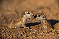 /images/133/2019-05-13-gv-creatures-viv1-19-5d4_2213.jpg - #14632: Baby Round Tailed Ground Squirrel in Green Valley … May 2019 -- Green Valley, Arizona