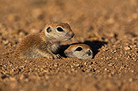 /images/133/2019-05-13-gv-creatures-viv1-2-5d4_2071.jpg - #14633: Baby Round Tailed Ground Squirrel in Green Valley … May 2019 -- Green Valley, Arizona