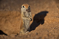 /images/133/2019-05-13-gv-creatures-viv1-4-5d4_2493.jpg - #14634: Baby Round Tailed Ground Squirrel in Green Valley … May 2019 -- Green Valley, Arizona