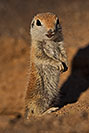 /images/133/2019-05-13-gv-creatures-viv1-4-5d4_2493v.jpg - #14635: Baby Round Tailed Ground Squirrel in Green Valley … May 2019 -- Green Valley, Arizona