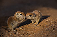 /images/133/2019-05-13-gv-creatures-viv1-48-5d4_2867.jpg - #14636: Baby Round Tailed Ground Squirrel in Green Valley … May 2019 -- Green Valley, Arizona
