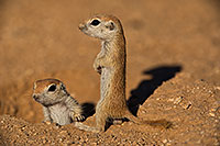 /images/133/2019-05-13-gv-creatures-viv1-5-5d4_2096.jpg - #14637: Baby Round Tailed Ground Squirrel in Green Valley … May 2019 -- Green Valley, Arizona