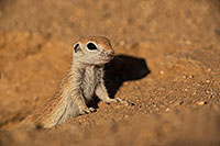 /images/133/2019-05-13-gv-creatures-viv1-5d4_2043.jpg - #14638: Baby Round Tailed Ground Squirrel in Green Valley … May 2019 -- Green Valley, Arizona