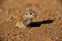 /images/133/2019-05-13-gv-creatures-viv1-5d4_2047.jpg - #14639: Baby Round Tailed Ground Squirrel in Green Valley … May 2019 -- Green Valley, Arizona