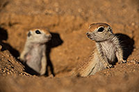 /images/133/2019-05-13-gv-creatures-viv1-5d4_2053.jpg - #14640: Baby Round Tailed Ground Squirrel in Green Valley … May 2019 -- Green Valley, Arizona
