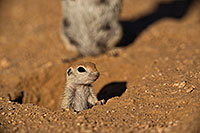 /images/133/2019-05-13-gv-creatures-viv1-5d4_2114.jpg - #14641: Baby Round Tailed Ground Squirrel in Green Valley … May 2019 -- Green Valley, Arizona