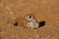 /images/133/2019-05-13-gv-creatures-viv1-5d4_2128.jpg - #14642: Baby Round Tailed Ground Squirrel in Green Valley … May 2019 -- Green Valley, Arizona