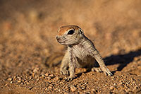 /images/133/2019-05-13-gv-creatures-viv1-5d4_2149.jpg - #14643: Baby Round Tailed Ground Squirrel in Green Valley … May 2019 -- Green Valley, Arizona