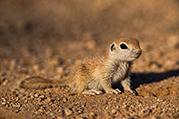 /images/133/2019-05-13-gv-creatures-viv1-5d4_2189.jpg - #14644: Baby Round Tailed Ground Squirrel in Green Valley … May 2019 -- Green Valley, Arizona