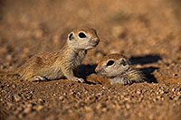 /images/133/2019-05-13-gv-creatures-viv1-5d4_2215.jpg - #14645: Baby Round Tailed Ground Squirrel in Green Valley … May 2019 -- Green Valley, Arizona