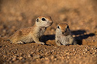 /images/133/2019-05-13-gv-creatures-viv1-5d4_2225.jpg - #14646: Baby Round Tailed Ground Squirrel in Green Valley … May 2019 -- Green Valley, Arizona