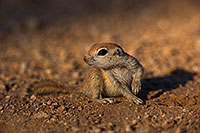 /images/133/2019-05-13-gv-creatures-viv1-5d4_2242.jpg - #14647: Baby Round Tailed Ground Squirrel in Green Valley … May 2019 -- Green Valley, Arizona