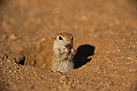 /images/133/2019-05-13-gv-creatures-viv1-5d4_2279.jpg - #14648: Baby Round Tailed Ground Squirrel in Green Valley … May 2019 -- Green Valley, Arizona