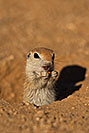 /images/133/2019-05-13-gv-creatures-viv1-5d4_2279v.jpg - #14649: Baby Round Tailed Ground Squirrel in Green Valley … May 2019 -- Green Valley, Arizona