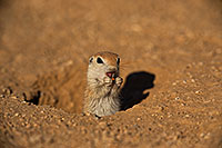 /images/133/2019-05-13-gv-creatures-viv1-5d4_2281.jpg - #14650: Baby Round Tailed Ground Squirrel in Green Valley … May 2019 -- Green Valley, Arizona