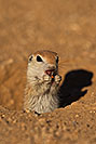 /images/133/2019-05-13-gv-creatures-viv1-5d4_2281v.jpg - #14651: Baby Round Tailed Ground Squirrel in Green Valley … May 2019 -- Green Valley, Arizona
