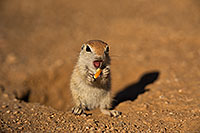 /images/133/2019-05-13-gv-creatures-viv1-5d4_2313.jpg - #14652: Baby Round Tailed Ground Squirrel in Green Valley … May 2019 -- Green Valley, Arizona