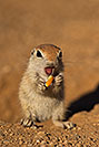 /images/133/2019-05-13-gv-creatures-viv1-5d4_2313v.jpg - #14653: Baby Round Tailed Ground Squirrel in Green Valley … May 2019 -- Green Valley, Arizona