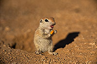 /images/133/2019-05-13-gv-creatures-viv1-5d4_2341.jpg - #14654: Baby Round Tailed Ground Squirrel in Green Valley … May 2019 -- Green Valley, Arizona