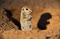 /images/133/2019-05-13-gv-creatures-viv1-5d4_2368.jpg - #14656: Baby Round Tailed Ground Squirrel in Green Valley … May 2019 -- Green Valley, Arizona