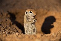 /images/133/2019-05-13-gv-creatures-viv1-5d4_2374.jpg - #14657: Baby Round Tailed Ground Squirrel in Green Valley … May 2019 -- Green Valley, Arizona