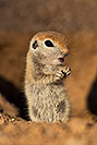 /images/133/2019-05-13-gv-creatures-viv1-5d4_2374v.jpg - #14658: Baby Round Tailed Ground Squirrel in Green Valley … May 2019 -- Green Valley, Arizona