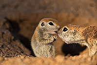/images/133/2019-05-13-gv-creatures-viv1-5d4_2402.jpg - #14659: Baby Round Tailed Ground Squirrel in Green Valley … May 2019 -- Green Valley, Arizona