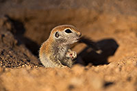 /images/133/2019-05-13-gv-creatures-viv1-5d4_2407.jpg - #14660: Baby Round Tailed Ground Squirrel in Green Valley … May 2019 -- Green Valley, Arizona