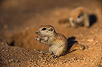 /images/133/2019-05-13-gv-creatures-viv1-5d4_2448.jpg - #14661: Baby Round Tailed Ground Squirrel in Green Valley … May 2019 -- Green Valley, Arizona