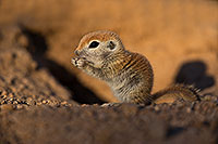 /images/133/2019-05-13-gv-creatures-viv1-5d4_2644.jpg - #14662: Baby Round Tailed Ground Squirrel in Green Valley … May 2019 -- Green Valley, Arizona