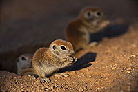 /images/133/2019-05-13-gv-creatures-viv1-5d4_2779.jpg - #14663: Baby Round Tailed Ground Squirrel in Green Valley … May 2019 -- Green Valley, Arizona