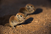 /images/133/2019-05-13-gv-creatures-viv1-5d4_2800.jpg - #14664: Baby Round Tailed Ground Squirrel in Green Valley … May 2019 -- Green Valley, Arizona