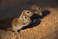 /images/133/2019-05-13-gv-creatures-viv1-5d4_2830.jpg - #14665: Baby Round Tailed Ground Squirrel in Green Valley … May 2019 -- Green Valley, Arizona
