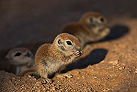 /images/133/2019-05-13-gv-creatures-viv1-5d4_2841.jpg - #14666: Baby Round Tailed Ground Squirrel in Green Valley … May 2019 -- Green Valley, Arizona