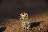 /images/133/2019-05-13-gv-creatures-viv1-5d4_2910.jpg - #14667: Baby Round Tailed Ground Squirrel in Green Valley … May 2019 -- Green Valley, Arizona