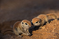 /images/133/2019-05-13-gv-creatures-viv1-5d4_2919.jpg - #14668: Baby Round Tailed Ground Squirrel in Green Valley … May 2019 -- Green Valley, Arizona