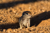 /images/133/2019-05-13-gv-creatures-viv1-5d4_3128.jpg - #14669: Baby Round Tailed Ground Squirrel in Green Valley … May 2019 -- Green Valley, Arizona