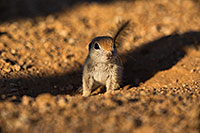 /images/133/2019-05-13-gv-creatures-viv1-5d4_3135.jpg - #14670: Baby Round Tailed Ground Squirrel in Green Valley … May 2019 -- Green Valley, Arizona