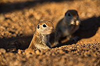 /images/133/2019-05-13-gv-creatures-viv1-5d4_3204.jpg - #14671: Baby Round Tailed Ground Squirrel in Green Valley … May 2019 -- Green Valley, Arizona