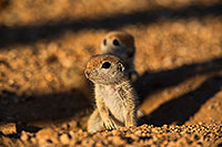 /images/133/2019-05-13-gv-creatures-viv1-5d4_3300.jpg - #14672: Baby Round Tailed Ground Squirrels in Green Valley … May 2019 -- Green Valley, Arizona